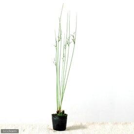 (ビオトープ)水辺植物 ブルーイグサ(1ポット) 湿生植物