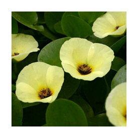 (ビオトープ)水辺植物 ウォーターポピー(ミズヒナゲシ)(1ポット) 浮葉植物
