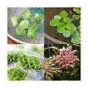 (水草)おまかせ浮き草 4種(無農薬)(各3株) 熱帯魚