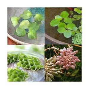 (水草)4種 おまかせ浮き草セット(無農薬)(各3株 計12株)