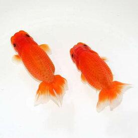 (国産金魚)紅葉らんちゅう 素赤〜更紗(1匹)