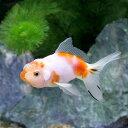 (国産金魚)浜茜(1匹)