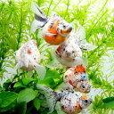 (金魚)キャリコパールスケール(1匹)