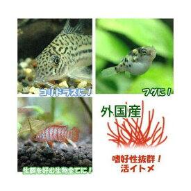 (生餌)イトメ(輸入産)イトミミズ/糸目 100g