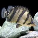 (熱帯魚)フォーバーダトニオ(フォーバータイガー)8〜11cm(1匹) 北海道・九州・沖縄航空便要保温