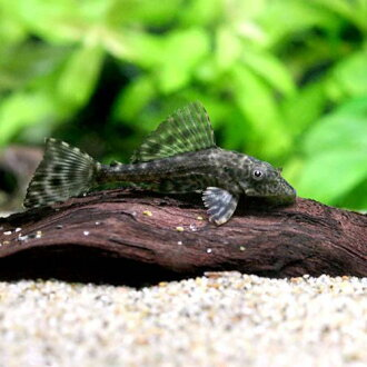 (Tropical fish) Hippo pleco (per pet) Hokkaido and Kyushu-Okinawa flights required thermal insulation