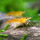 (エビ)オレンジチェリーシュリンプ(12匹) 北海道航空便要保温