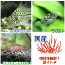 (生餌)イトメ(国産)イトミミズ/糸目 30g