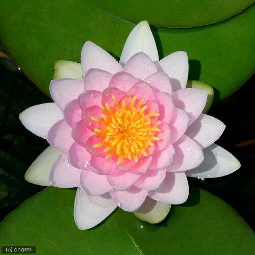 (ビオトープ)睡蓮 温帯性睡蓮(スイレン)(桃) ホランディア Hollandia (1ポット)