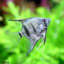 (熱帯魚)シルバーダイヤモンド・エンゼルフィッシュ(国産ブリード)(3匹)  北海道・九州・沖縄航空便要保温