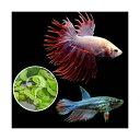 (熱帯魚 水草)ベタ・クラウンテール 色指定なし(おまかせ浮き草3種セット付き)(1ペア)