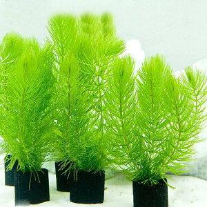 (水草)メダカ・金魚藻 マルチリングブラック(黒) マツモ ミニ(無農薬)(3個)