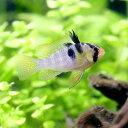 (熱帯魚)オランダ・ラミレジィ(国産ブリード)(3匹)