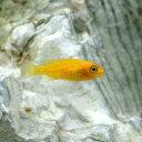 (熱帯魚)オレンジゼブラ・シクリッド(8匹)