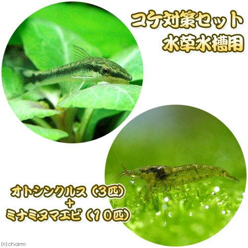 (熱帯魚)(エビ)コケ対策セット 水草水槽用 オトシンクルス(3匹) + ミナミヌマエビ(10匹) 北海道・九州航空便要保温