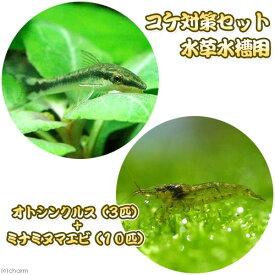 (熱帯魚)(エビ)コケ対策セット 水草水槽用 オトシンクルス(3匹) + ミナミヌマエビ(10匹)