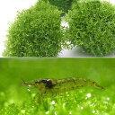 (エビ)(水草)巻きたて リシアボール(無農薬)(1個) +ミナミヌマエビ(5匹)