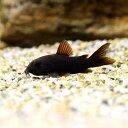 (熱帯魚)コリドラス・ベネズエラブラック(3匹)