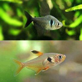 (熱帯魚)ブラックファントム・テトラ(3匹)+レッドファントム(ブリード)(3匹)(計6匹) 北海道・九州航空便要保温