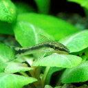 (熱帯魚)オトシンクルス(20匹)