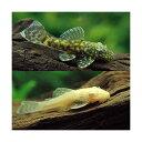 (熱帯魚)ミニミニブッシーセット(ミニブッシープレコ1匹+アルビノミニブッシー1匹)(計2匹) 北海道・九州航空…
