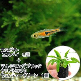 (熱帯魚)(水草)ラスボラ・エスペイ(6匹)+マルチリングブラック(黒)クリプトコリネ ウェンティーグリーン(1個) 北海道・九州航空便要保温