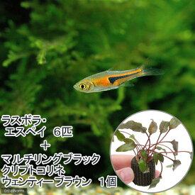 (熱帯魚)(水草)ラスボラ・エスペイ(6匹)+マルチリングブラック(黒)クリプトコリネ ウェンティーブラウン(1個) 北海道航空便要保温