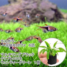 (熱帯魚)(水草)ラスボラ・ヘテロモルファ(6匹)+マルチリング・ブラック(黒)クリプト・ウェンティーグリーン(1個) 北海道航空便要保温