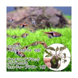 (熱帯魚)(水草)ラスボラ・ヘテロモルファ(6匹)+マルチリング・ブラック(黒)クリプト・ウェンティーブラウン(1個) 北海道航空便要保温