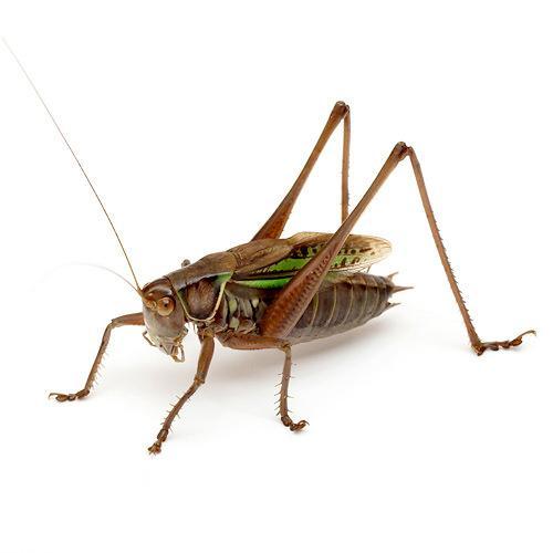 (昆虫)ヒガシキリギリス オス(1匹)