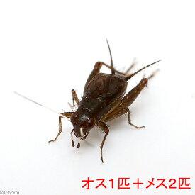 (昆虫)ヒゲシロスズ(オス1匹+メス2匹) 沖縄・離島不可 タイム便・航空便不可