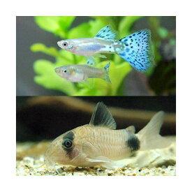 (熱帯魚)ブルーグラスグッピー(国産グッピー)(1ペア)+コリドラス・パンダ(1匹) 北海道航空便要保温