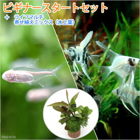 (熱帯魚)(水草)ビギナースタートセット アルビノグローライト・テトラ(10匹)+ミックス・エンゼル Sサイズ2匹 北海道・九州航空便要保温