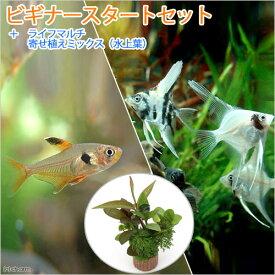 (熱帯魚)(水草)ビギナースタートセット レッドファントム・テトラ(6匹)+ミックス・エンゼル S(2匹) 北海道・九州航空便要保温