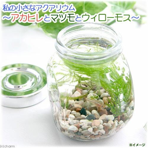 (熱帯魚)(水草)私の小さなアクアリウム アカヒレボトルセット 〜マツモとウィローモス〜(1セット)説明書付 本州・四国限定