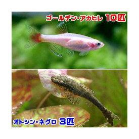 (熱帯魚)ゴールデンアカヒレ(10匹) + オトシン・ネグロ(3匹) 北海道・九州航空便要保温