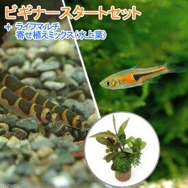 (熱帯魚)(水草)ビギナースタートセット ラスボラ・エスペイ(6匹) +クーリーローチ(3匹) 北海道・九州航空便要保温