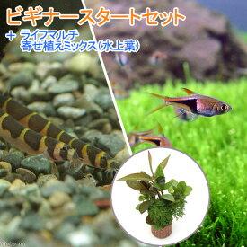 (熱帯魚)(水草)ビギナースタートセット ラスボラ・ヘテロモルファ(6匹) +クーリーローチ(3匹) 北海道・九州航空便要保温