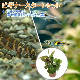 (熱帯魚)(水草)ビギナースタートセット ラスボラ・ヘンゲリー(6匹) +クーリーローチ(3匹) 北海道航空便要保温