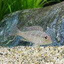 (熱帯魚)ゲオファーガスsp.レッドヘッドタパジョス Sサイズ(1匹) 北海道航空便要保温