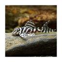(熱帯魚)ニューメガクラウン・ペコルティア L—236(ブリード)(1匹) 北海道・九州・沖縄航空便要保温