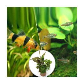 (熱帯魚)(水草)ビギナースタートセット グローライト・テトラ(10匹) +クラウンローチ(2匹) 北海道・九州航空便要保温