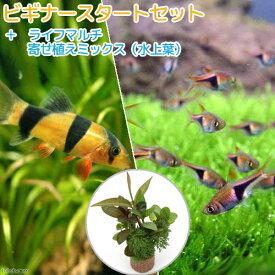 (熱帯魚)(水草)ビギナースタートセット ラスボラ・ヘテロモルファ(6匹) +クラウンローチ(2匹) 北海道航空便要保温