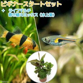 (熱帯魚)(水草)ビギナースタートセット ラスボラ・ヘンゲリー(6匹) +クラウンローチ(2匹) 北海道航空便要保温