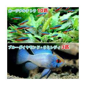 (熱帯魚)カージナルテトラ(ワイルド)(10匹) + ブルーダイヤモンド・ラミレジィ(3匹) 北海道・九州航空便要保温
