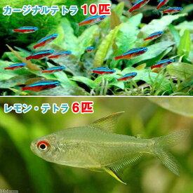 (熱帯魚)カージナルテトラ(ワイルド)(10匹) + レモン・テトラ(6匹) 北海道・九州航空便要保温
