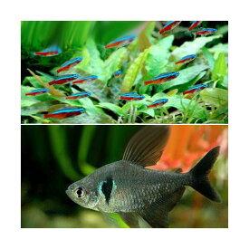 (熱帯魚)カージナルテトラ(ワイルド)(10匹) + ブラックファントム・テトラ(6匹) 北海道・九州航空便要保温