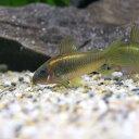 (熱帯魚)コリドラス・イルミネータス ゴールド(ブリード)(3匹)