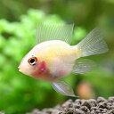 (熱帯魚)グラスゴールデンバルーン・ラミレジィ(3匹) 北海道・九州・沖縄航空便要保温