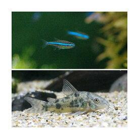 (熱帯魚)グリーンネオンテトラ(10匹) + コリドラス・パレアタス(3匹) 北海道・九州航空便要保温